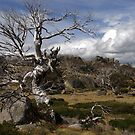 Lone Dead Snow Gum by Richard  Stanley