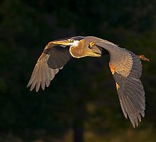 050709 Great Blue Heron by Marvin Collins