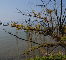tree at the lake of constance by Manfred Bruttel