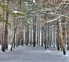 Blizzard in the Forest by Bruce Taylor