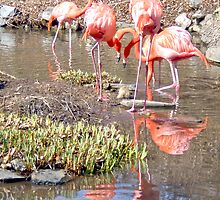 The Fierce Flamingos by Terry Schock