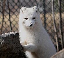 BABY ARCTIC FOX by Larry Trupp