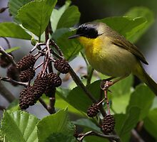 Common Yellow Throat Warbler 5 by John Absher