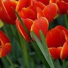 Tulips by Colleen Drew