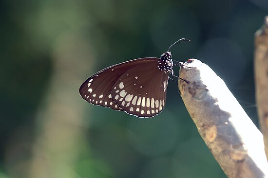 Butterfly in the garden by AravindTeki