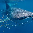 Whale Shark, Ningaloo Reef, Western Australia by Erik Schlogl