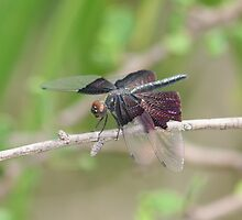 Iridescent Flutterer by Norman Mueller