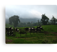 Cows  Clouds and Fog  Canvas Print