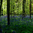 Bluebell Wood by Paulie-W