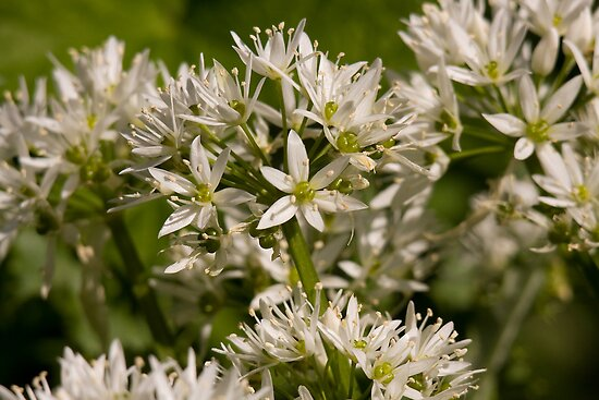 Ramsons, wild garlic by Jon Lees