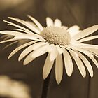 Sepia Daisy by Tony Allen