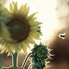 Sunflower Sunset by cpad04