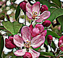 Apple Blossoms in HDR by Nanagahma