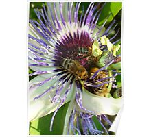 Close Up Of  Passion Flower with Honey Bee Poster