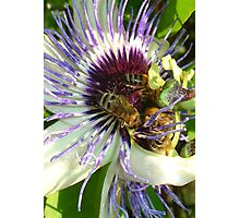 Close Up Of  Passion Flower with Honey Bee Photographic Print
