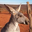 Roo-roo, Mount Ive Station by Blue Gum Pictures