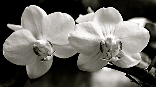 orchids by Jessica Karran