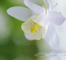 Reflect on Aquilegia by Jacky Parker