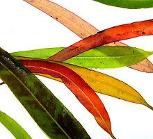 lemon scented eucalypt leaves by Christopher Biggs