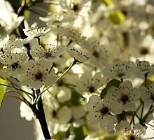 Dogwood by Lita Medinger