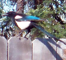 Black-billed Magpie by copperhead