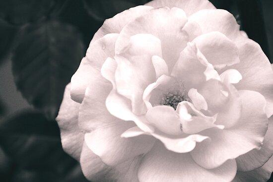 vintage rose by rhobint