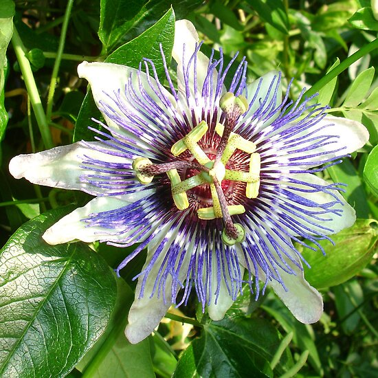 Passiflora Against Green Foliage In A Garden by taiche
