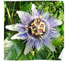 Passiflora Against Green Foliage In A Garden Poster