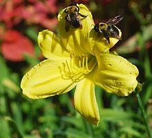 Bumbling Bumble Bees by photobryan
