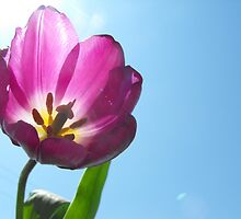 Reach for the Sky Little Tulip by sternbergimages