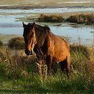 Assateague Marsh Stallion by kimbarose