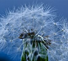 Dandelion seed head by IanHuxtable