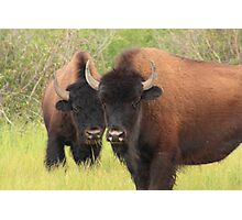 Bison attention Photographic Print
