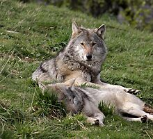 Timber Wolves at Rest by Stormbringer