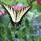 Tiger Swallowtail II by Julie's Camera Creations