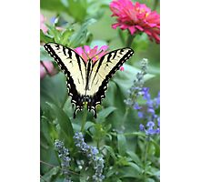 Tiger Swallowtail II Photographic Print