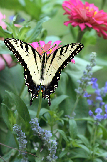 Tiger Swallowtail II by Julie's Camera Creations <><