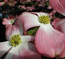 Dogwood Petals by JDNarts