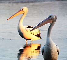 Dawn and dusk pelicans. by EllaMay