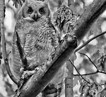 The Owlet (Great Horned) by Bradley Nichol