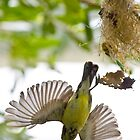 Little Spiderhunter 3 by David Clarke
