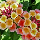 Lovely Lantana by DesignsByDeb