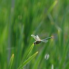 051509-19   DRAGONFLY  V by MICKSPIXPHOTOS