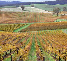 Amadio Vineyards. Williamstown S.A by patapping