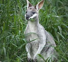 Whiptail Wallaby I by Kana Photography