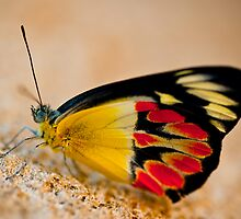 Butterfly II by Kana Photography