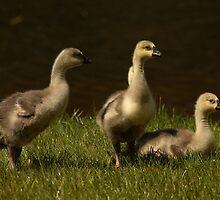 Goslings by Olga Zvereva