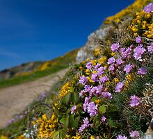 Guernsey Sea Thrift by PhotoToasty