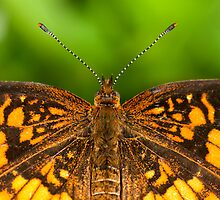Pearl Crescent Butterfly  by Bonnie T.  Barry