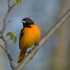 Baltimore Oriole by MitchM
